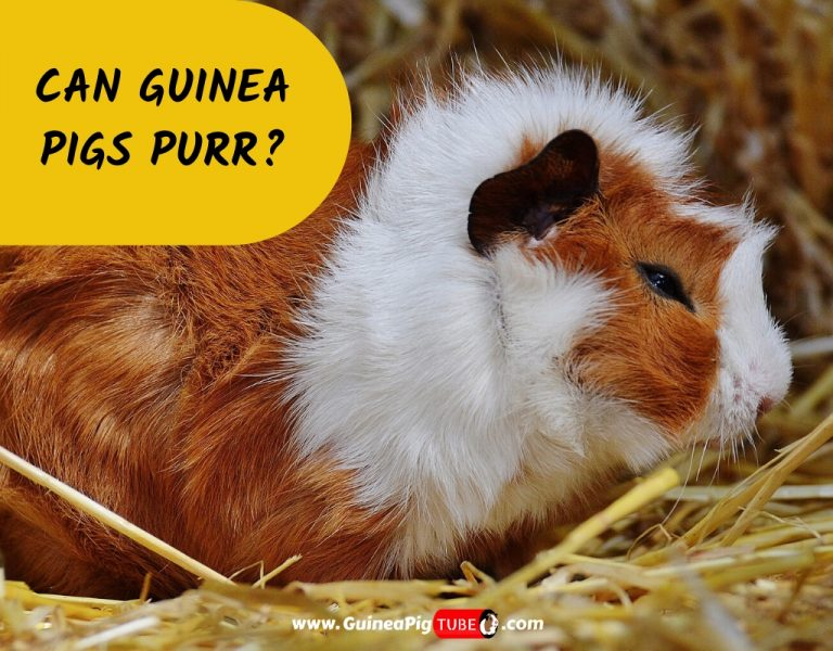 Can Guinea Pigs Purr_