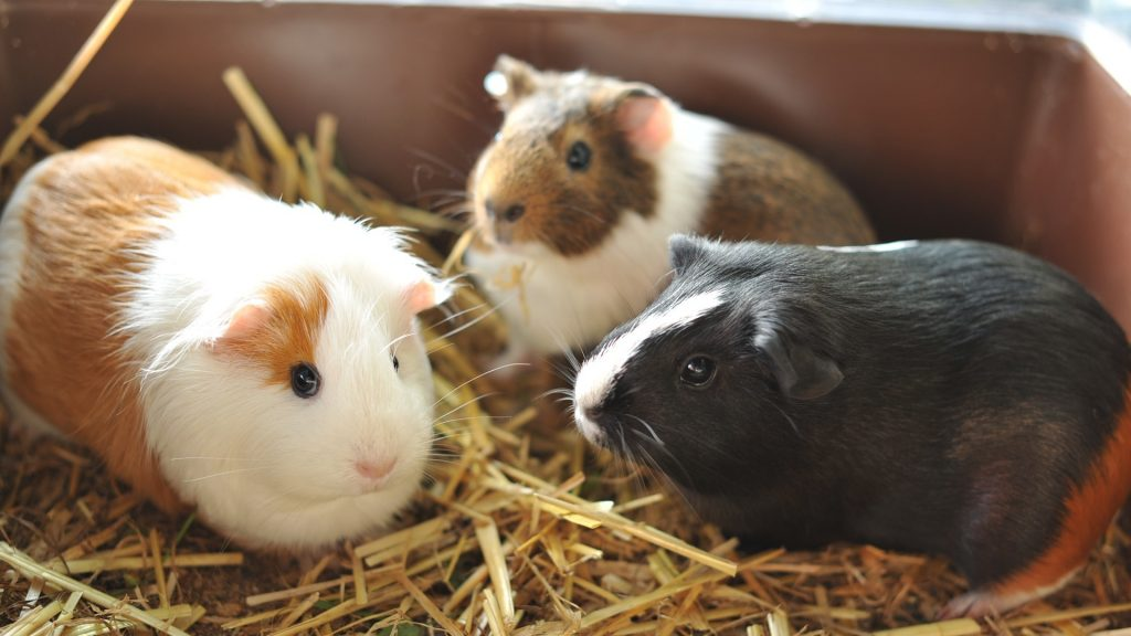 Consider Getting a Bigger Guinea Pig Cage