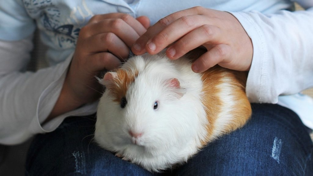 Do Guinea Pigs Love to Be Petted or Tickled