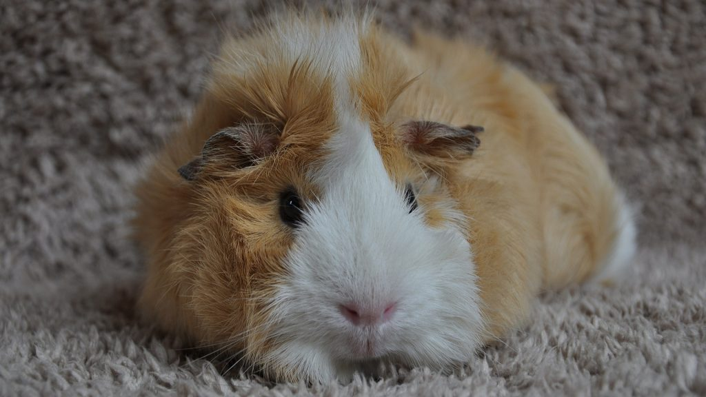 Do Guinea Pigs Make Snoring Sounds When They Sleep