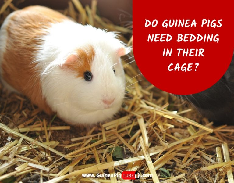 Do Guinea Pigs Need Bedding in Their Cage_