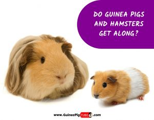 Do Guinea Pigs and Hamsters Get Along_