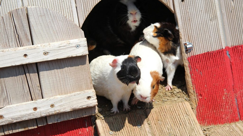 Guinea Pigs Climb out of Their Cages