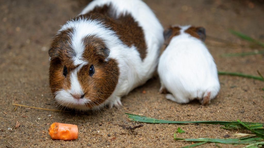 Guinea Pigs Eat Carrots