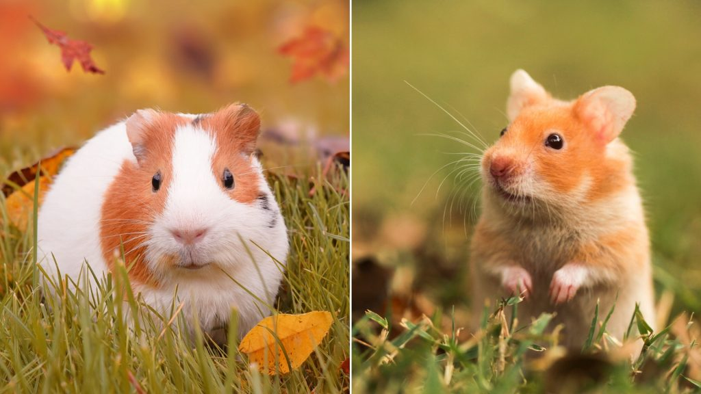 How Are Guinea Pigs and Hamsters Similar