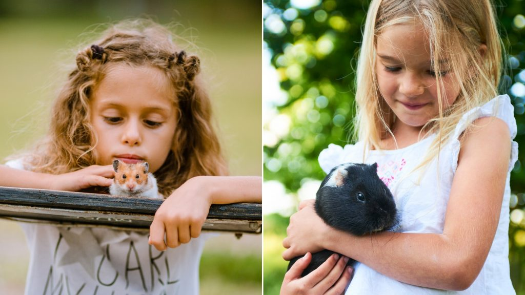 How to Know Whether Guinea Pig or a Hamster Is the Right Pet for You