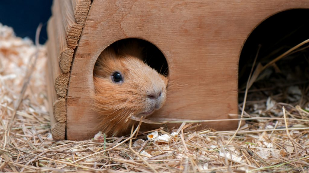 Noise Pollution scared Guinea Pig