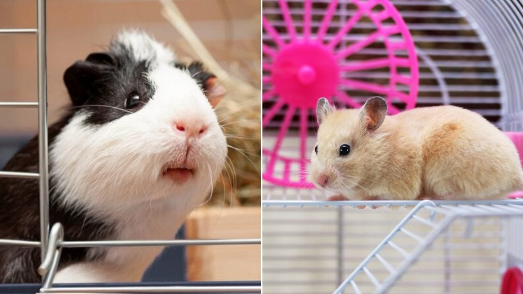 The Differences Between Guinea Pigs and Hamsters That Make Them Incompatible for Sharing a Cage