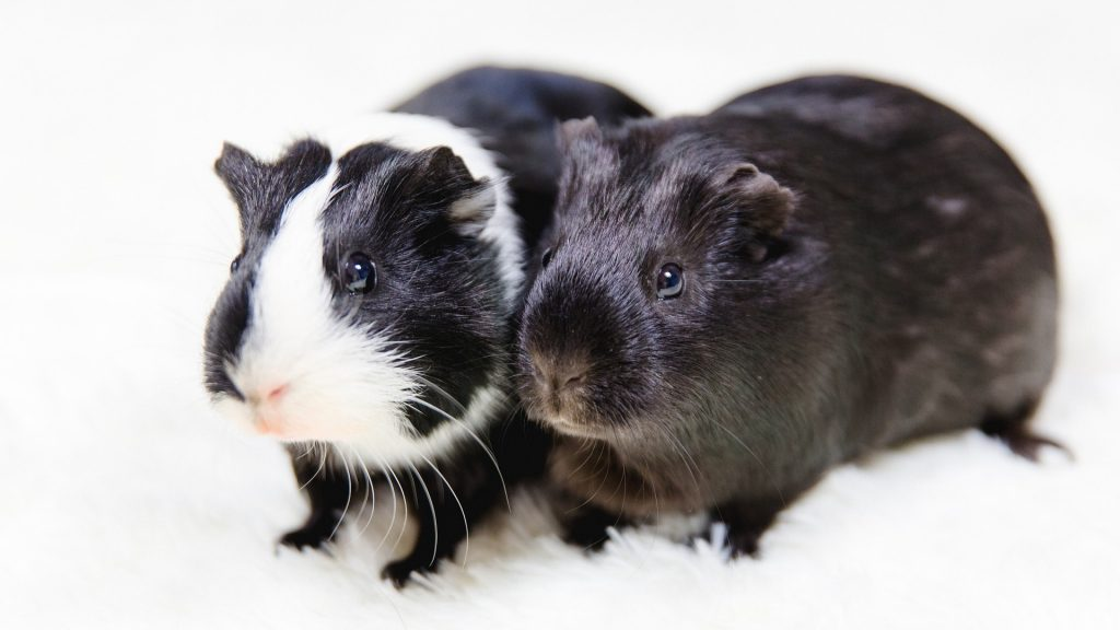 The General Characteristics of Guinea Pigs