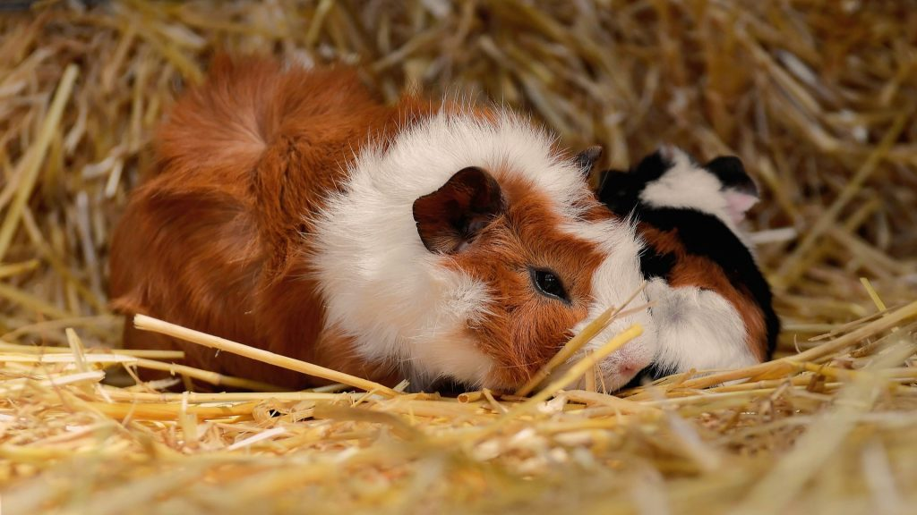 The Guinea Pig Just Wants to Be Left Alone