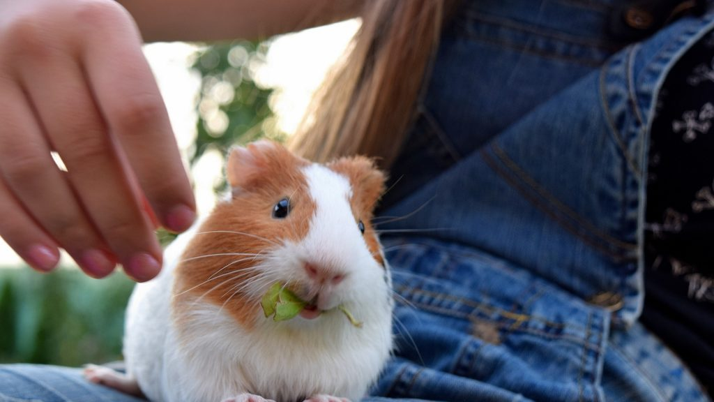 What If a Guinea Pig Doesn't Want to Be Petted or Tickled
