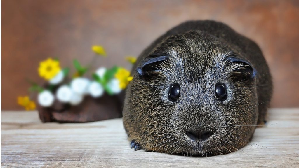 What Sounds Do Guinea Pigs Make When Sick or in Pain
