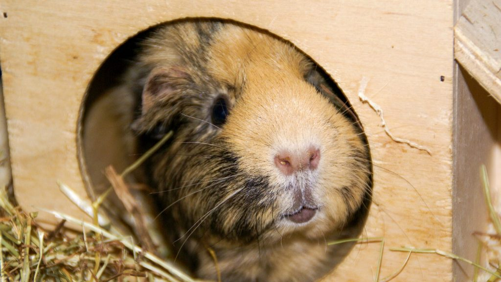 What to Avoid When Litter-Training Your Guinea Pig