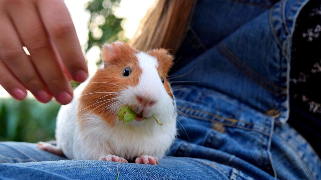 Your Guinea Pig Has Mistaken You for Food
