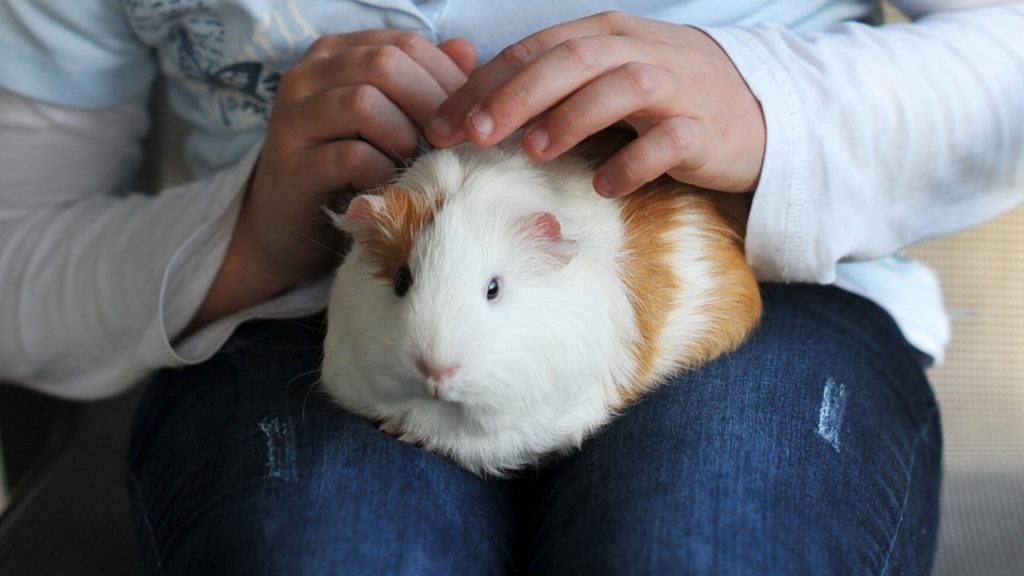Your Guinea Pig Might Simply Need to Go to the Toilet