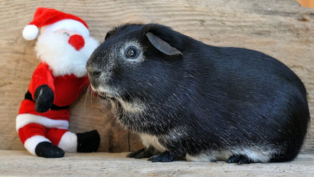 guinea pigs like Playing