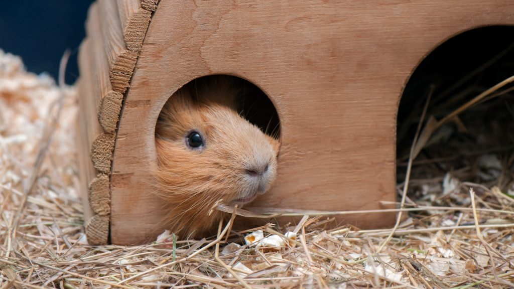 guinea pigs need Places to Hide