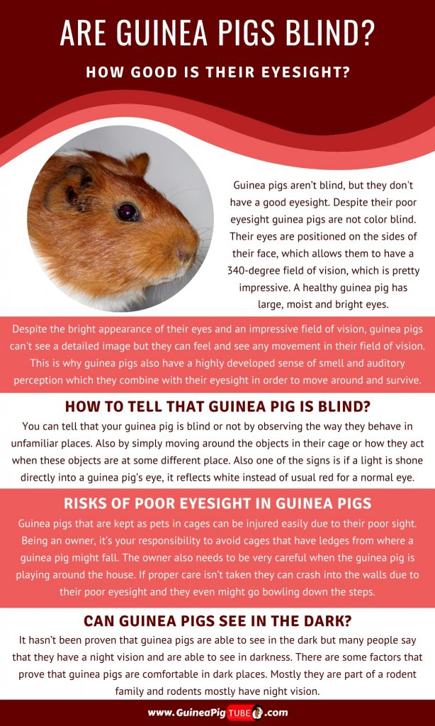 Are Guinea Pigs Blind and How Good Is Their Eyesight_1