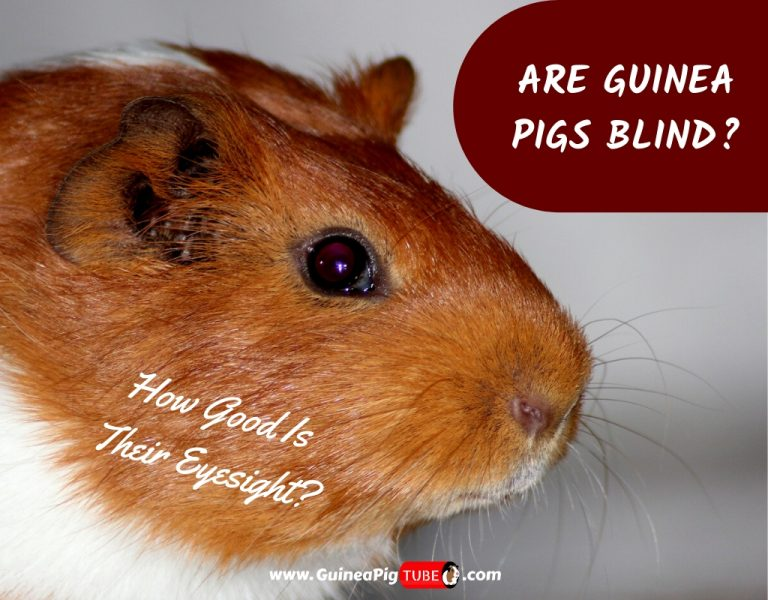 Are Guinea Pigs Blind_