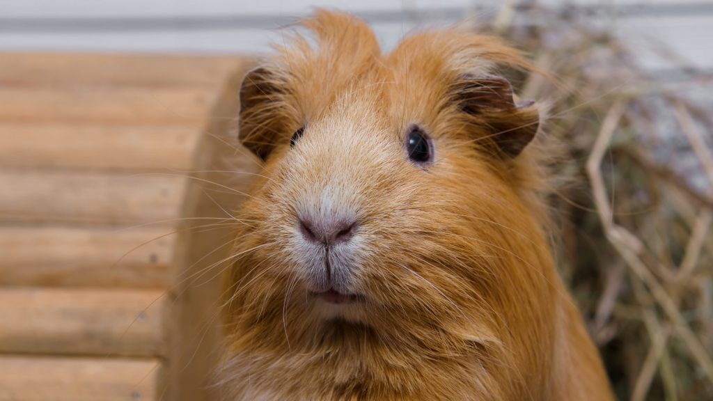 Are Guinea Pigs Diurnal