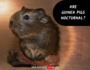 Are Guinea Pigs Nocturnal_