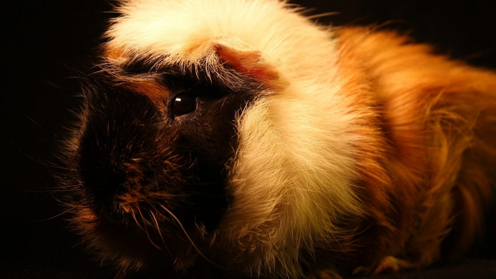 Can Guinea Pigs See in the Dark
