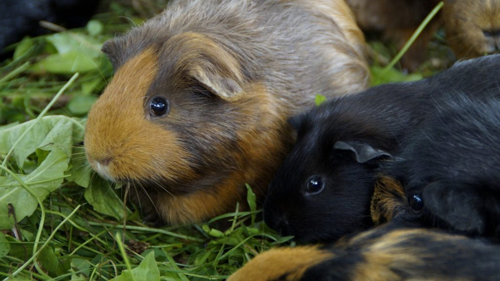 Communication Methods of Guinea Pigs in the Wild