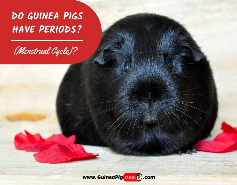 Do Guinea Pigs Have Periods_
