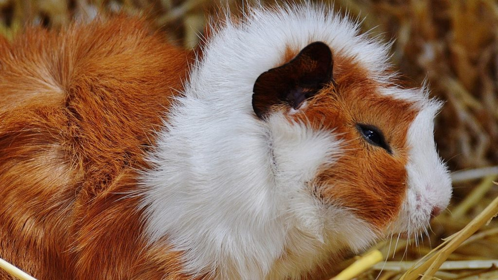 Guinea Pig Eye Infections Symptoms, Prevention and More