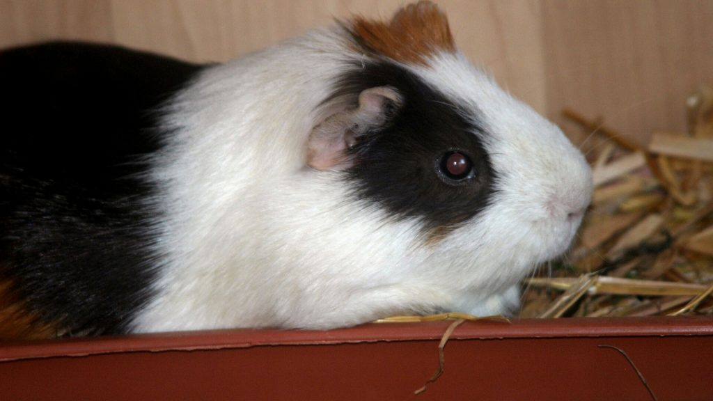 Guinea Pig Poop and Their Behaviour
