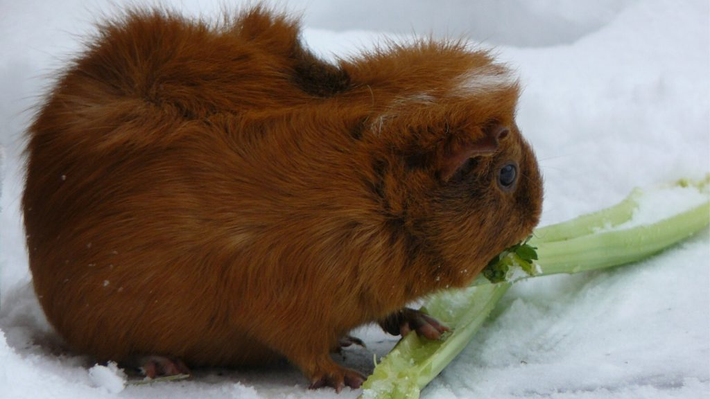 Guinea Pig Survival in the Wild During the Winter Time