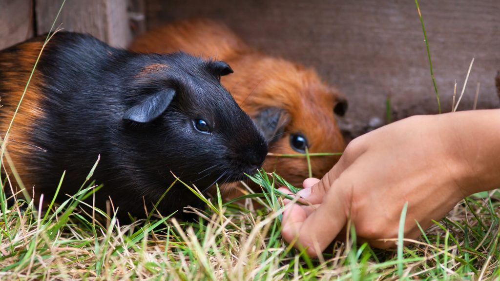 How Can I Help My Guinea Pig Recognize Me