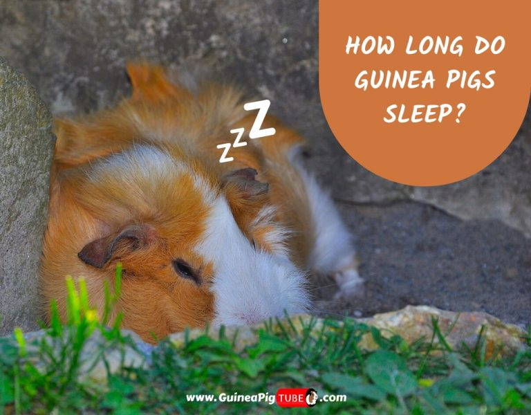 How Long Do Guinea Pigs Sleep