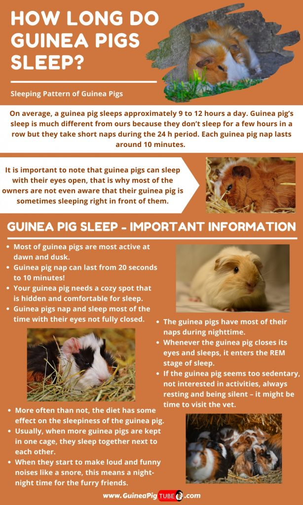 How Long Do Guinea Pigs Sleep_1