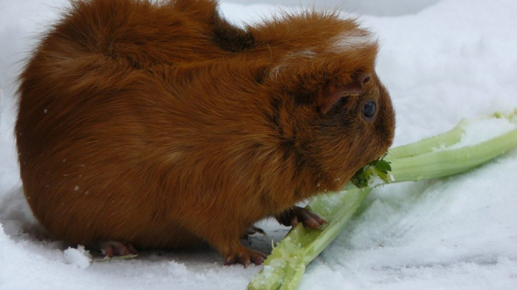 Is Celery Good for Guinea Pigs