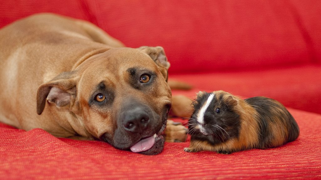 Is Guinea Pig Poop Toxic to Dogs