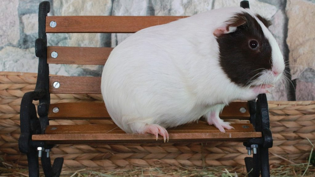 Risks of Poor Eyesight in Guinea Pig
