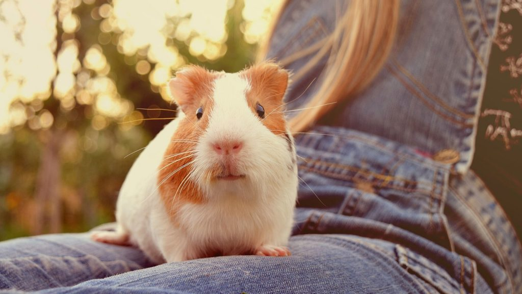 Sings That Indicated That Guinea Pigs Can Recognize Their Owners