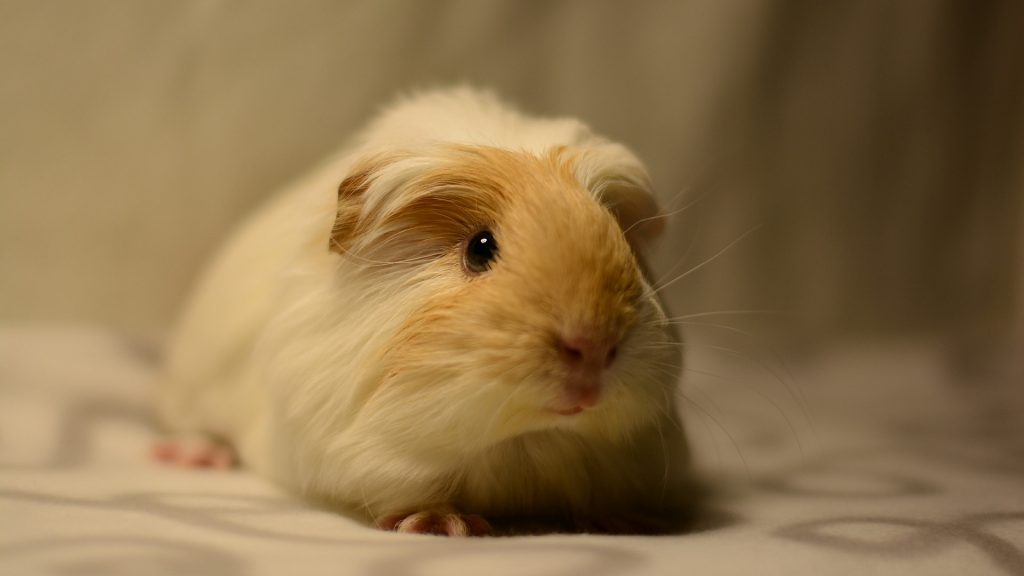 The Importance of the Comfort for the Guinea Pig