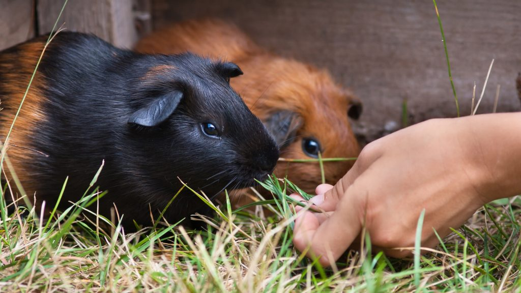 The Quickest Way to the Guinea Pig Heart is Through the Stomach