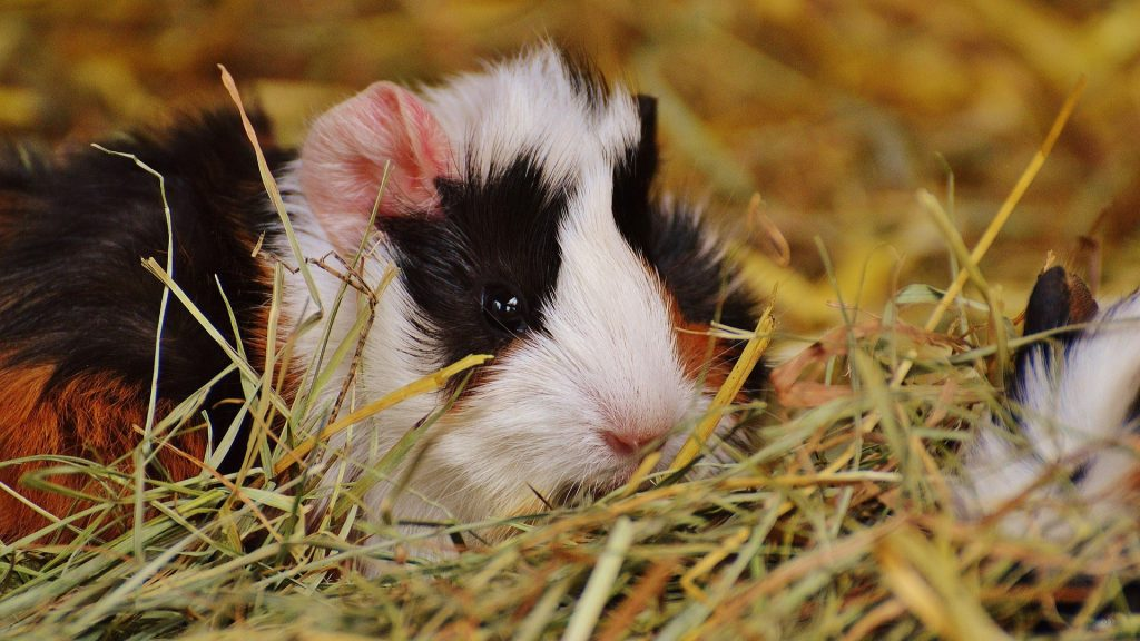 The Significance of Predators in the Sleep Pattern of Guinea Pigs