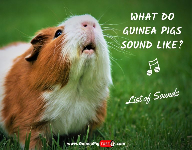 What Do Guinea Pigs Sound Like_