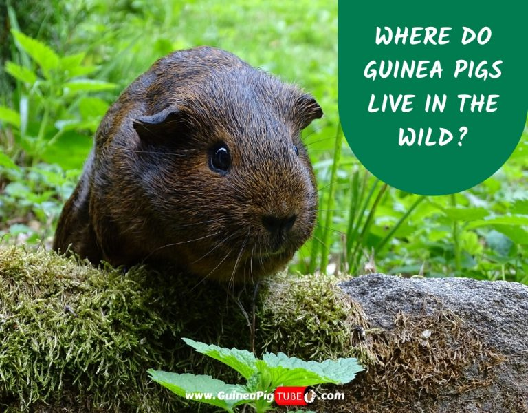 Where Do Guinea Pigs Live in the Wild_