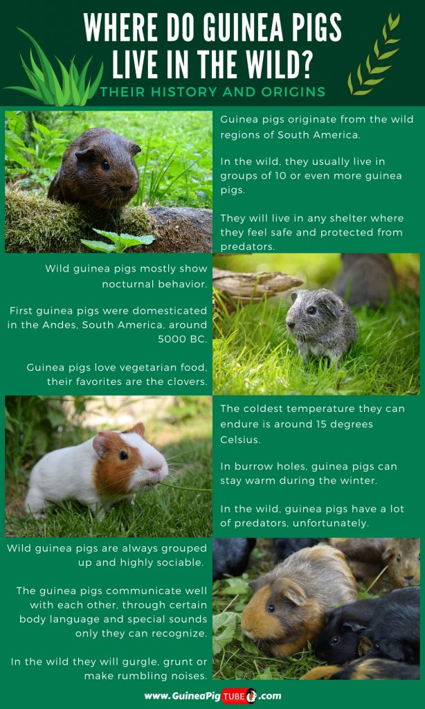 Where Do Guinea Pigs Live in the Wild_1