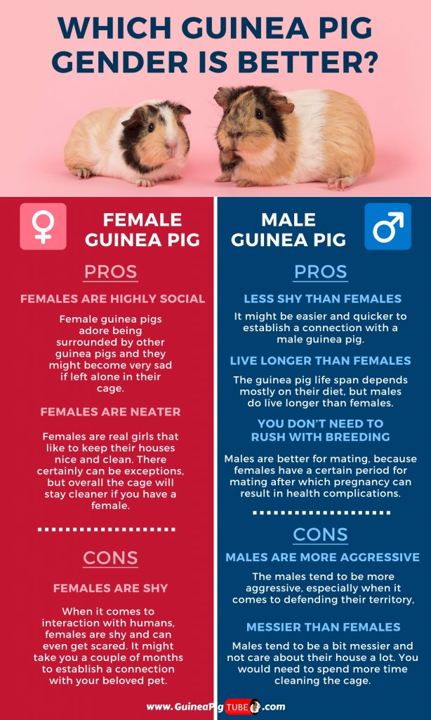 Which Guinea Pig Gender Is Better_1