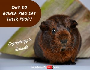 Why Do Guinea Pigs Eat Their Poop_