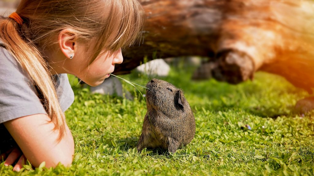 Will Training Guinea Pigs Help Them Recognize Their Owners