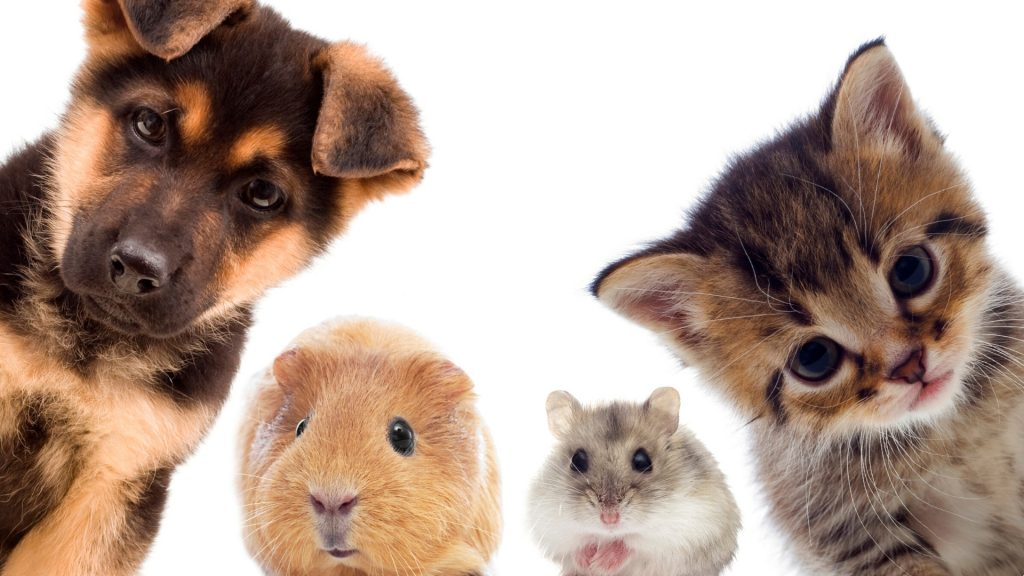 Aggressive Behavior in Guinea Pigs and Other Pets Comparison