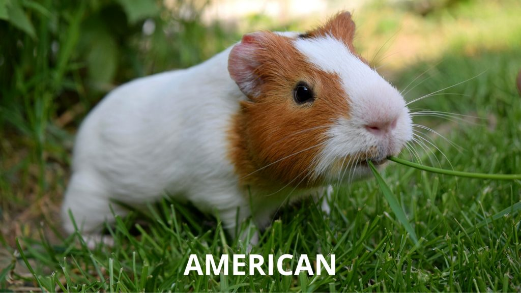 American Short Haired Guinea Pig