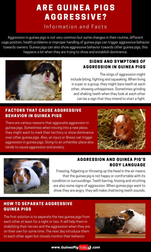 Are Guinea Pigs Aggressive_1